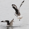 Willet Scuffle #5