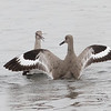 Willet Scuffle #9
