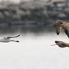 American Avocet, Long-billed Curlew, and Marbled Godwit