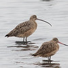 Long-billed Curlew with Marbled Godwit