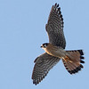 American Kestrel, Sunnyvale WPCP and Bay Trail, Santa Clara County, CA, 27-Nov-2013