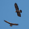 Two Golden Eagles, Patterson Pass Road, Alameda County, CA, 29-Nov-2013