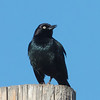Brewer's Blackbird, Patterson Pass Road, Alameda County, CA, 29-Nov-2013