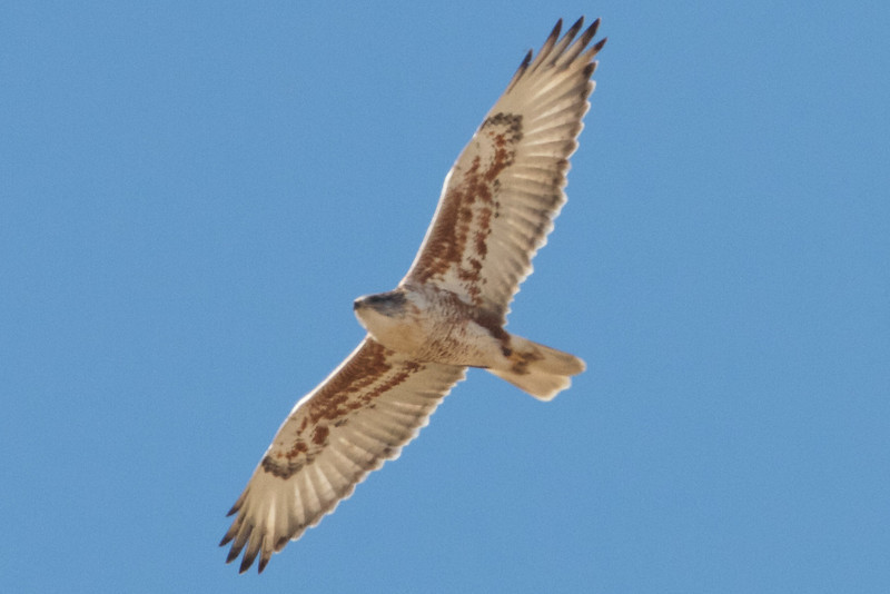 Ferruginous Hawk, Patterson Pass Road, Alameda County, CA, 29-Nov-2013