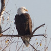 Bald Eagle, Sacramento NWR, Glenn County, CA, 7-Dec-2013
