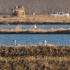 Tundra Swans, Sycamore Slough Road, Colusa County, CA, 8-Dec-2013