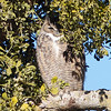 Great Horned Owl Hiding in the Mistletoe, Sycamore Slough Road, Colusa County, CA, 8-Dec-2013