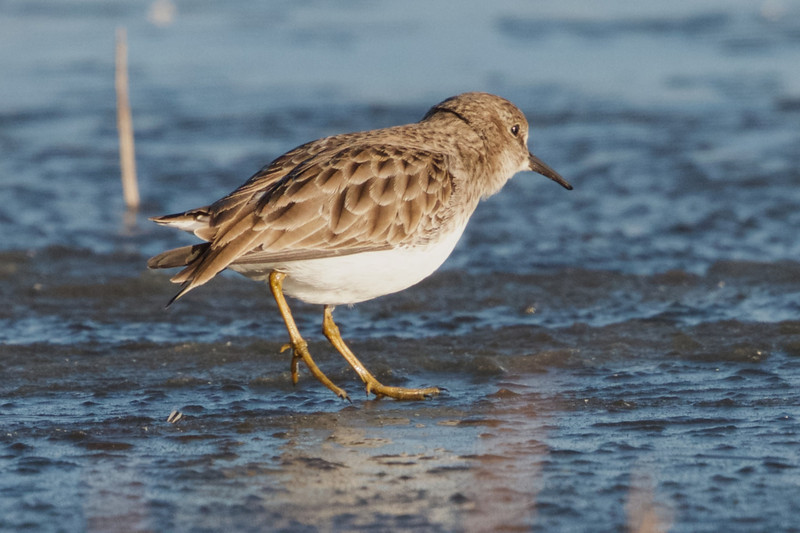 Least Sandpiper walking on Ice.  Colusa NWR, Colusa County, CA, 8-Dec-2013