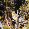 Western Meadowlark, Sycamore Slough Road, Colusa County, CA, 8-Dec-2013