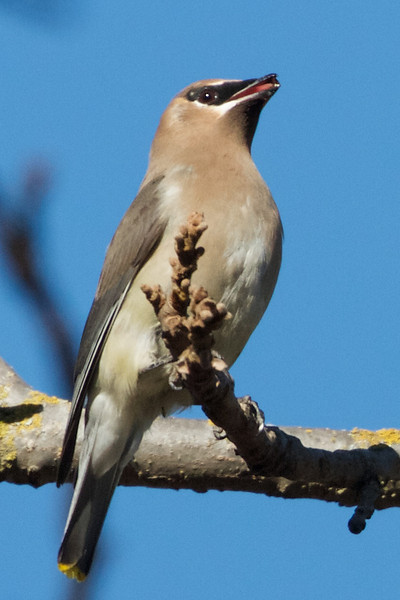 Cedar Waxwing, Sycamore Slough Road, Colusa County, CA, 8-Dec-2013