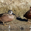 Blue-winged Teal with Cinnamon Teal, Sacramento NWR, Glenn County, CA, 7-Dec-2013