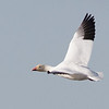 Snow Goose in Flight, Sacramento NWR, Glenn County, CA, 7-Dec-2013