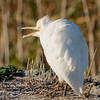 Cattle Egret, Colusa NWR, Colusa County, CA, 8-Dec-2013