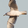 Ring-billed Gull, Sycamore Slough Road, Colusa County, CA, 8-Dec-2013