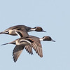 Northern Pintail In Flight, Colusa NWR, Colusa County, CA, 8-Dec-2013