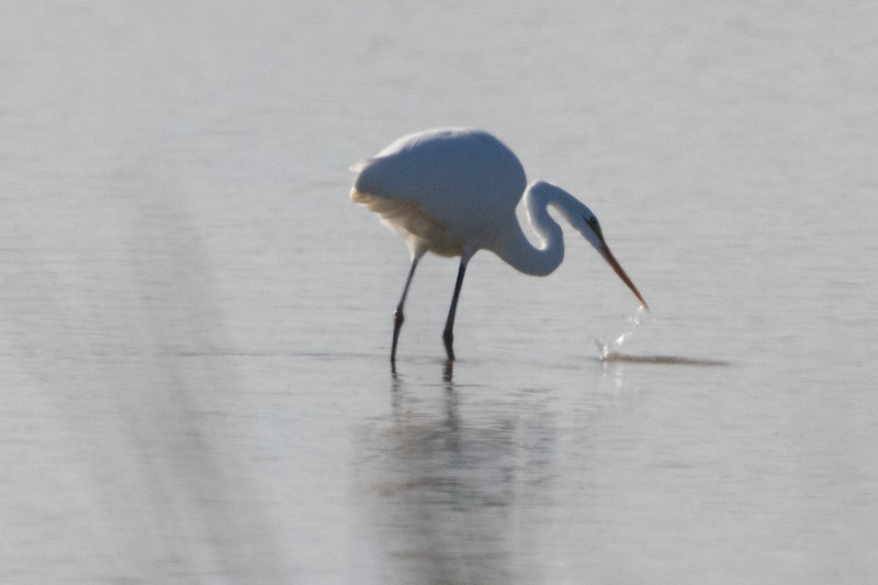 Great Egret Fishing, Sacramento NWR, Glenn County, CA, 7-Dec-2013