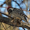 Nuttall's Woodpecker, Sycamore Slough Road, Colusa County, CA, 8-Dec-2013