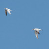 Elegant and Forster's Terns Flying over Alviso Salt Pond A12, Santa Clara County, CA, 13-Nov-2013