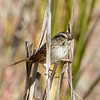 Swamp Sparrow #1 (Photo 1, 11:37 am)