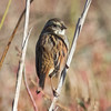 Swamp Sparrow #2 (Photo 2, 11:47 am)