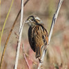 Swamp Sparrow #2, Palo Alto Baylands, Santa Clara County, 15-Nov-2013