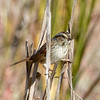 Swamp Sparrow #1, Palo Alto Baylands, Santa Clara County, 15-Nov-2013