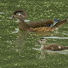Wood Duck mother and youngin'