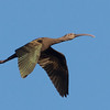 White-faced Ibis, Graylodge, Butte County, 18-Jan-2014