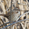 Song Sparrow, Sacramento NWR, Glenn County, 19-Jan-2014