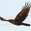 Common Raven, Highway 162, Butte County, 19-Jan-2014