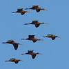 Flock of White-faced Ibis, Highway 162, Butte County, 19-Jan-2014