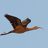 White-faced Ibis, Highway 162, Butte County, 19-Jan-2014
