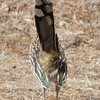 Greater Roadrunner's Undertail Feathers