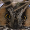 Long-eared Owl, Mercey Hot Springs