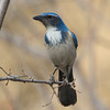 Western Scrub-Jay Standing in for Rufous-crowned Sparrow