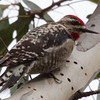 Red-naped Sapsucker (female)