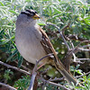 White-crowned Sparrow, Wavecrest, 8-Mar-2014