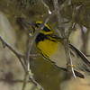 Townsend's Warbler, Burleigh Murray Ranch State Park, 8-Mar-2014