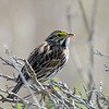 Savannah Sparrow, Wavecrest, 8-Mar-2014