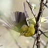 Orange-crowned Warbler, Burleigh Murray Ranch State Park, 8-Mar-2014