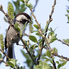 Chestnut-backed Chickadee, Burleigh Murray Ranch State Park, 8-Mar-2014