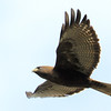 Dark Morph Red-tailed Hawk, Burleigh Murray Ranch State Park, 8-Mar-2014