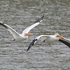 American White Pelicans in Flight, Coyote Lake CP, Santa Clara County, 5-April-2014