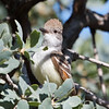 Ash-throated Flycatcher, Del Puerto Canyon, Stanislaus County, CA, 10-May-2014