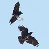Common Ravens, Del Puerto Canyon, Stanislaus County, CA, 10-May-2014