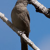 Phainopepla, Del Puerto Canyon, Stanislaus County, CA, 10-May-2014