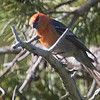 Pine Grosbeak, Yuba Pass Campground, 10-June-2014