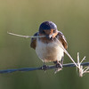 Barn Swallow, Sierra Valley, 11-June-2014