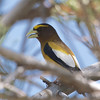 Evening Grosbeak, Yuba Pass, 10-June-2014