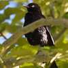 Brewer's Blackbird, Mono Lake County Park